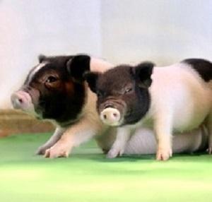 PiggyOrgans